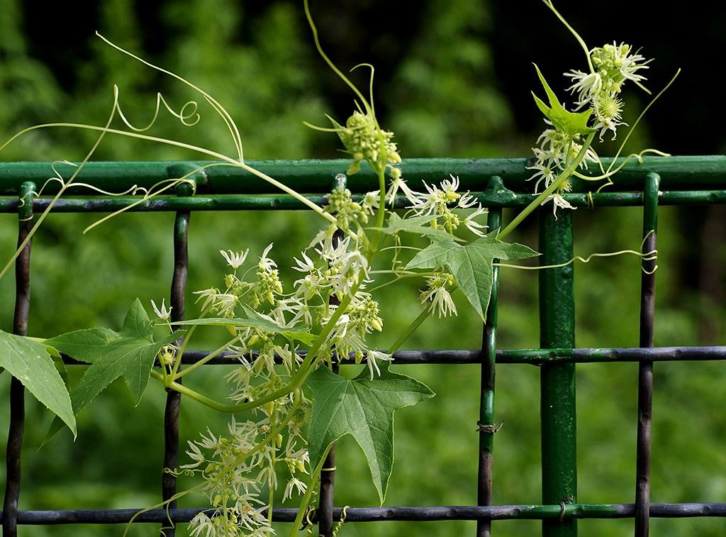 Живой забор на даче: 15 быстрорастущих растений для создания изгороди