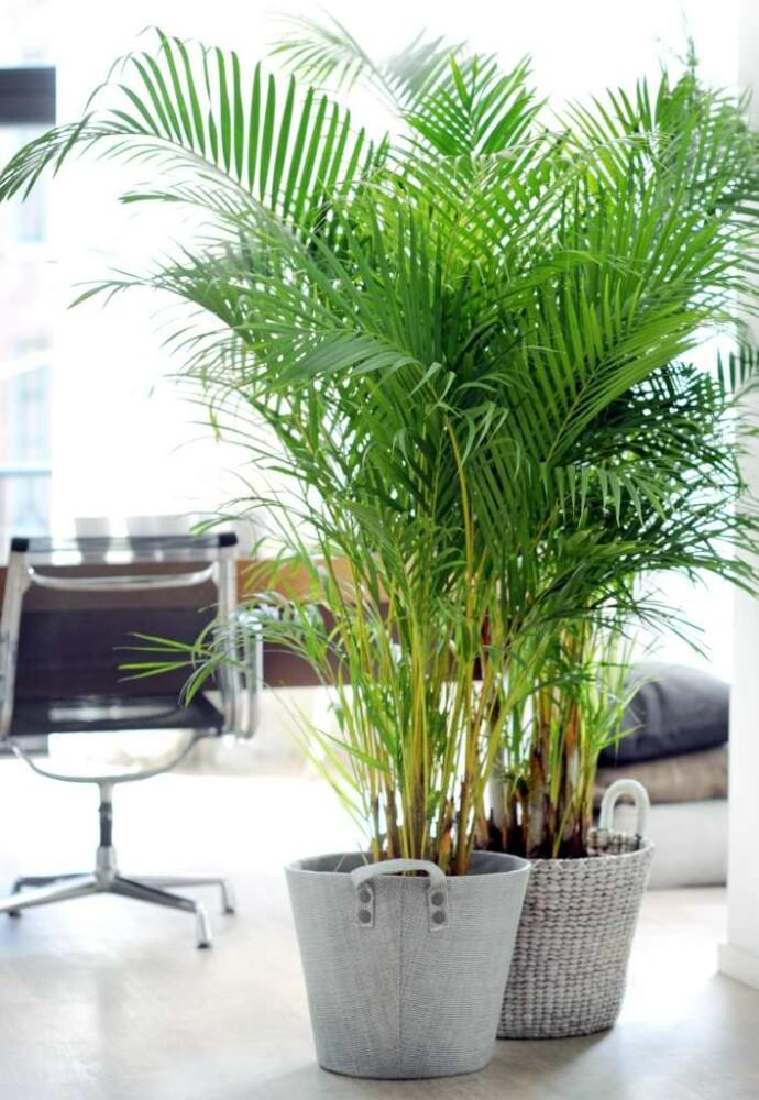 Какую пальму выбрать для дома: 15 экзотов для тропического интерьера